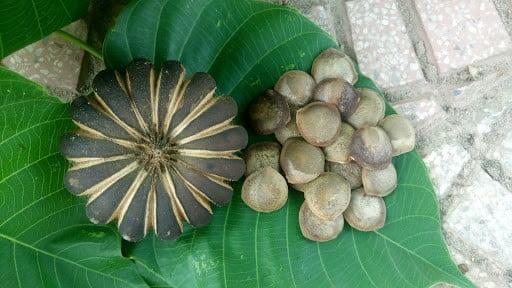 hạt ngô đồng1